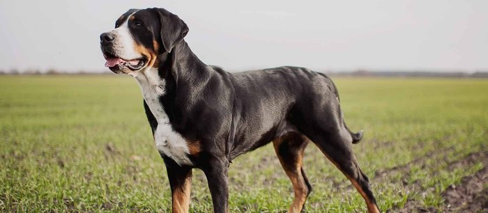 20+ Largest Dog Breeds Ever – 2020 17