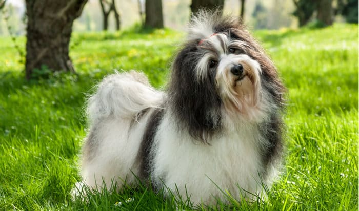 The 20+ Best Hypoallergenic Dogs For People With Allergies 10