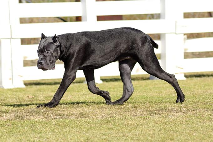 The Full List of Mastiff Dog Breeds 2020 11
