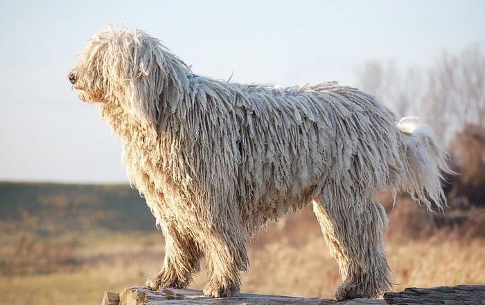 20+ Largest Dog Breeds Ever – 2020 5