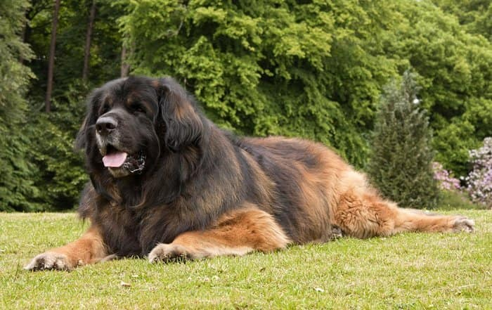 20+ Largest Dog Breeds Ever – 2020 12