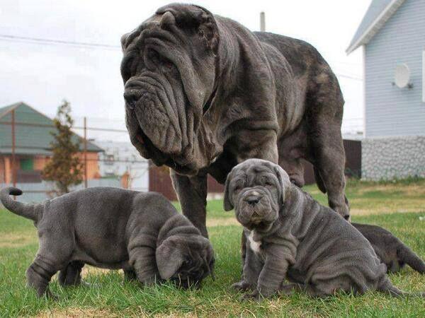 The Full List of Mastiff Dog Breeds 2020 14