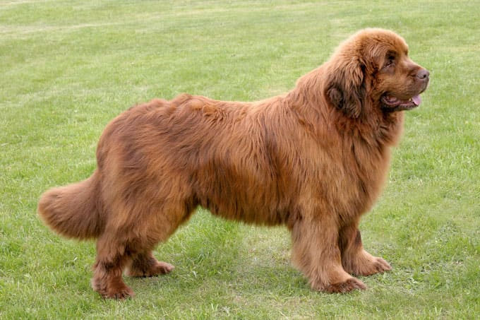 20+ Largest Dog Breeds Ever – 2020 4