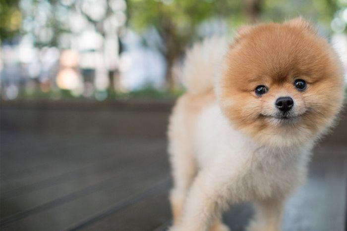 Pomeranian Dog Breed Information 2020 3