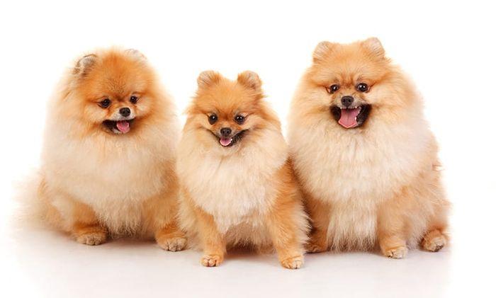 Pomeranian Dog Breed Information 2020 9