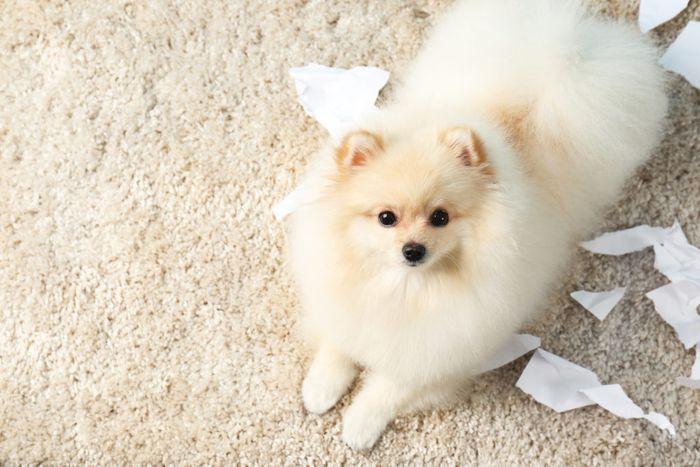 Pomeranian Dog Breed Information 2020 7