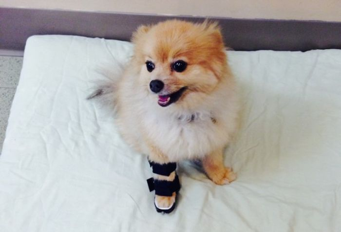 Pomeranian Dog Breed Information 2020 8