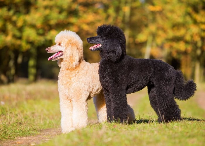 The 20+ Best Hypoallergenic Dogs For People With Allergies 7