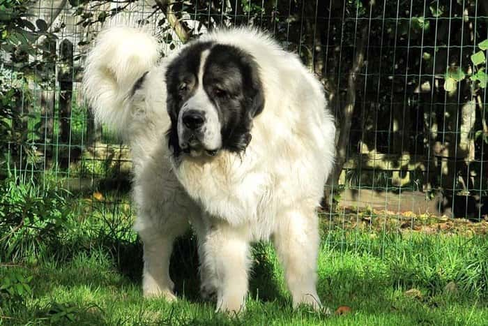 The Full List of Mastiff Dog Breeds 2020 15