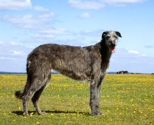 20+ Largest Dog Breeds Ever – 2020 6