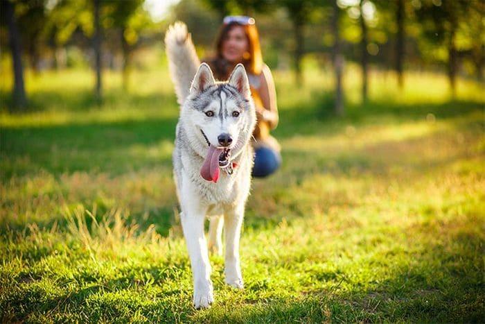 Siberian Husky 6