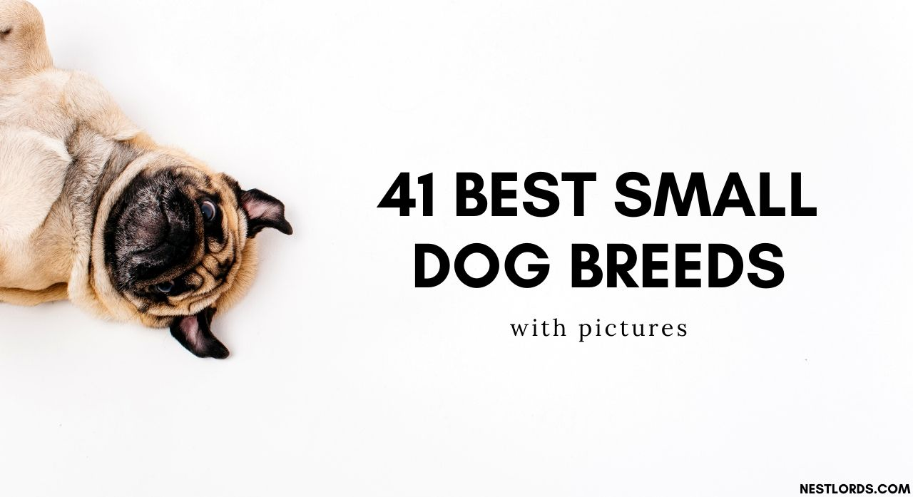 41 Best Small Dog Breeds with Pictures – 2020 1