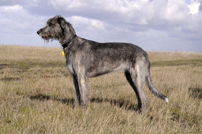 20+ Largest Dog Breeds Ever – 2020 10