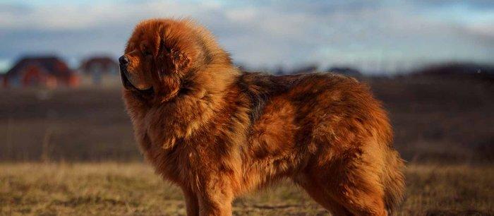 The Full List of Mastiff Dog Breeds 2020 18