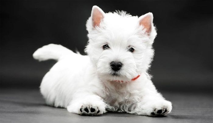 20 Most Popular White Dog Breeds 2020 16