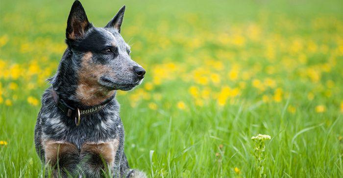 Australian Cattle Dog Dog Breed Information 2020 5