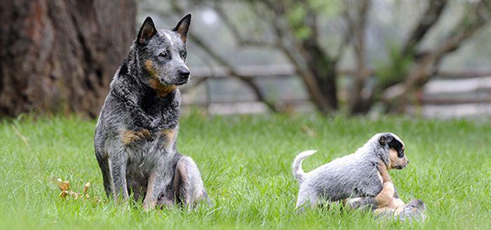 Australian Cattle Dog Dog Breed Information 2020 2