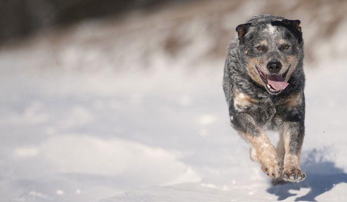 Australian Cattle Dog Dog Breed Information 2020 6