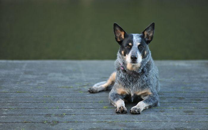 Australian Cattle Dog Dog Breed Information 2020 8