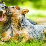 Australian Shepherd Dog Breed Information 12