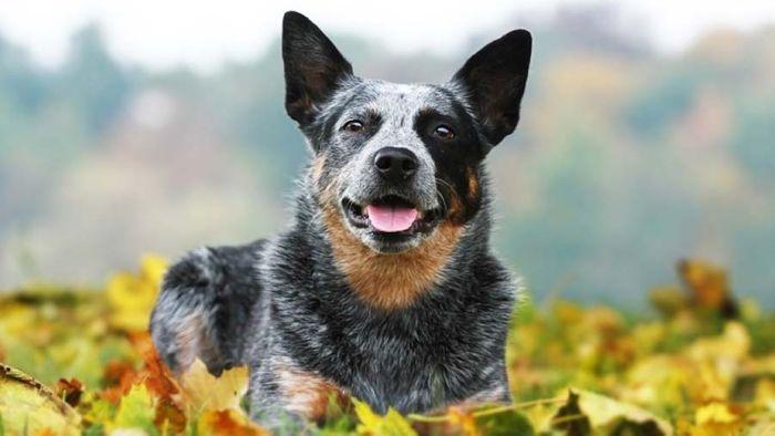 Australian Cattle Dog Dog Breed Information 2020 3