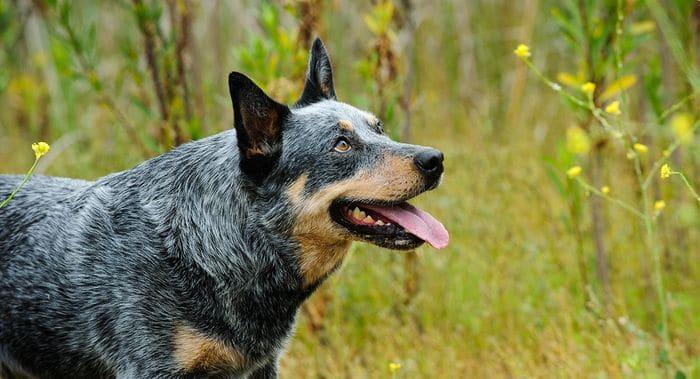 Australian Cattle Dog Dog Breed Information 2020 9