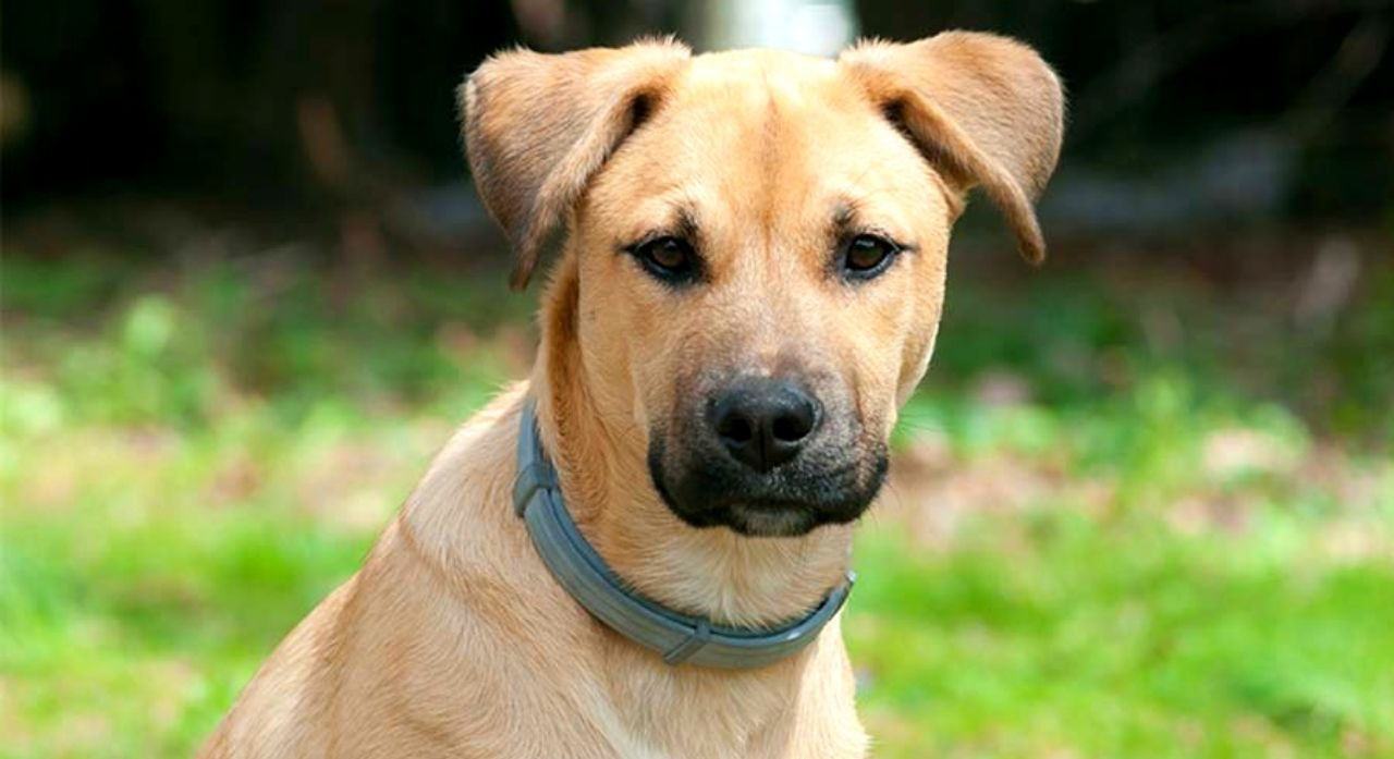 Black Mouth Cur - Dog Breed Information, Pictures, Characteristics 1