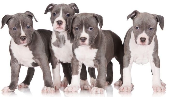Blue Nose Pitbull - Dog Breed Information, Pictures, Characteristics 3