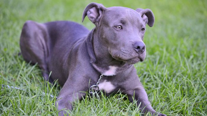 Blue Nose Pitbull - Dog Breed Information, Pictures, Characteristics 5