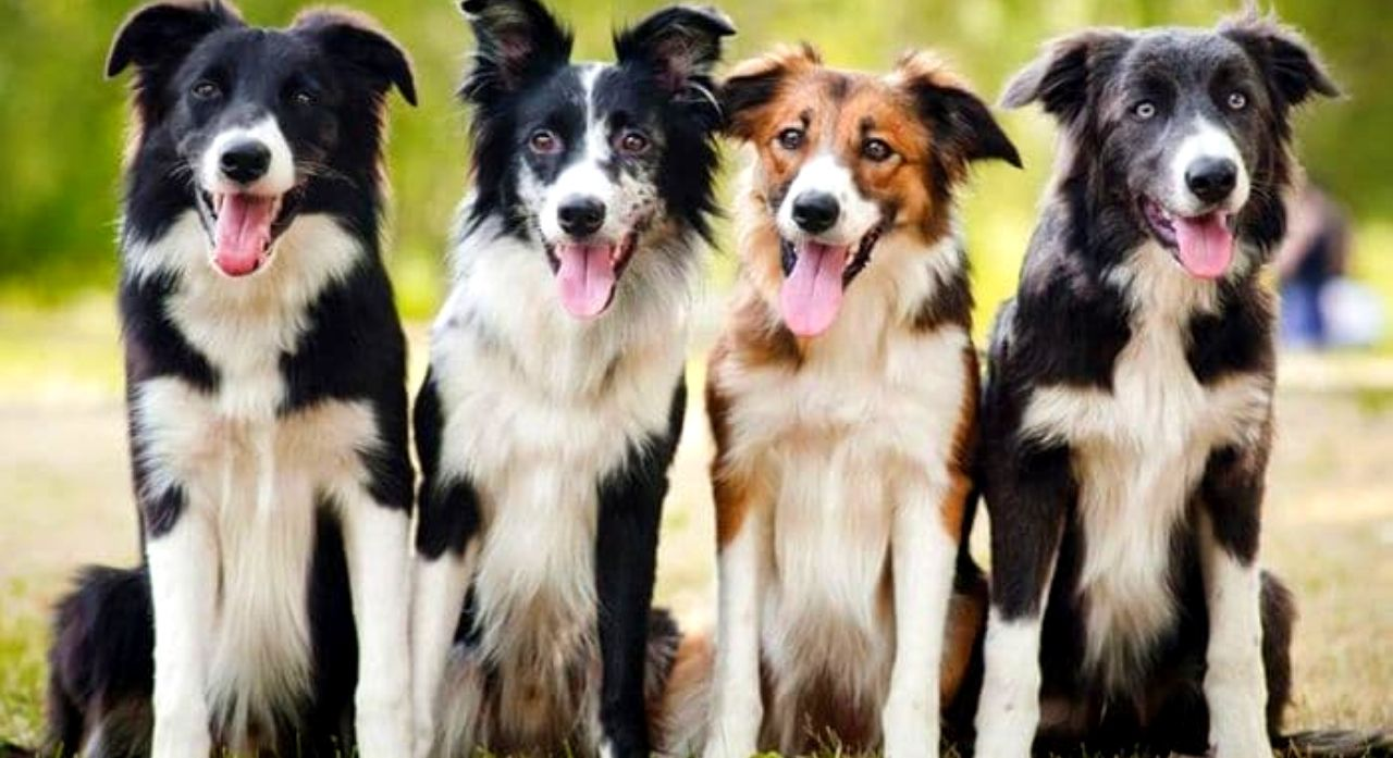 Border Collie Dog Breed Information, Pictures, Characteristics 1