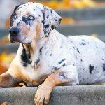 Pomeranian Dog Breed Information 2020 10