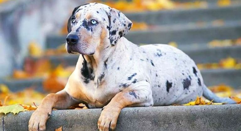 Catahoula Leopard Dog Breed Information 2020