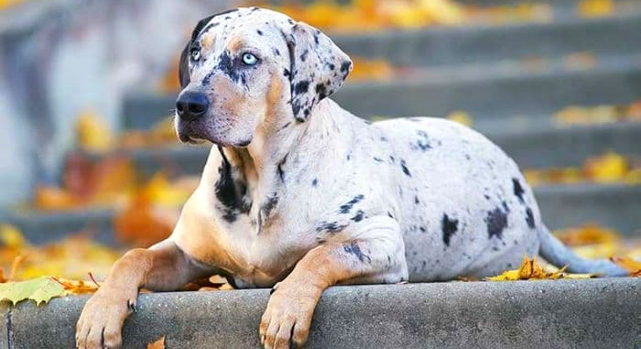 Catahoula Leopard Dog Breed Information 2020 1
