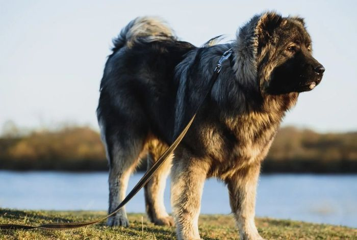 Caucasian Shepherd 7