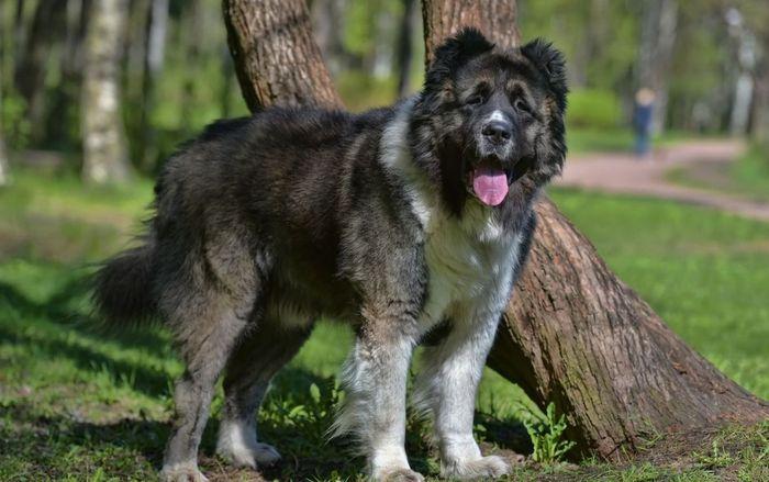 Caucasian Shepherd 8
