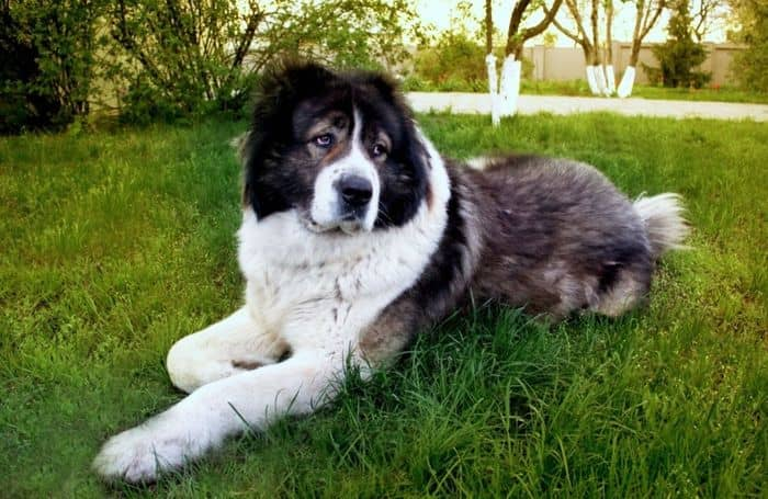 Caucasian Shepherd 2