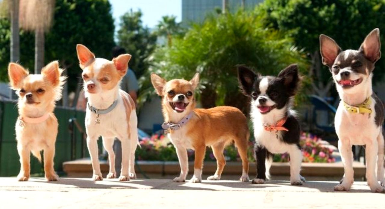 Chihuahua Dog Breed Information 2020 1