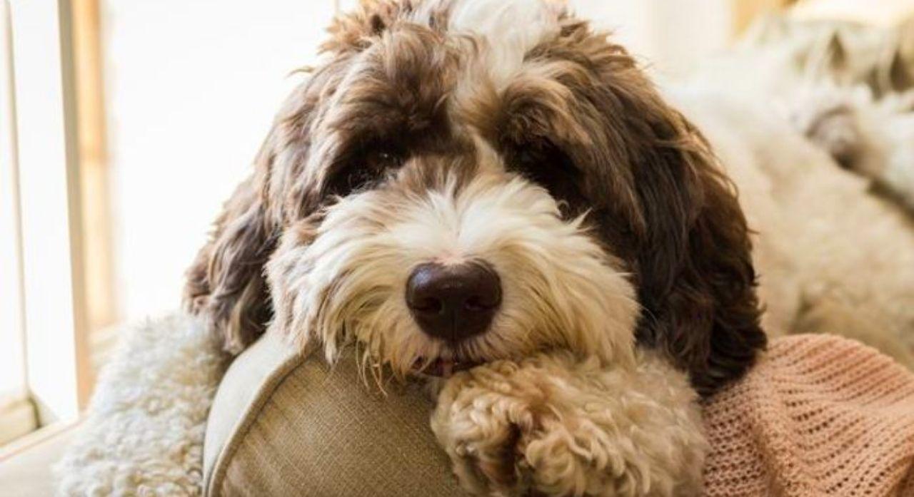 Cushing's Disease in Dogs 1