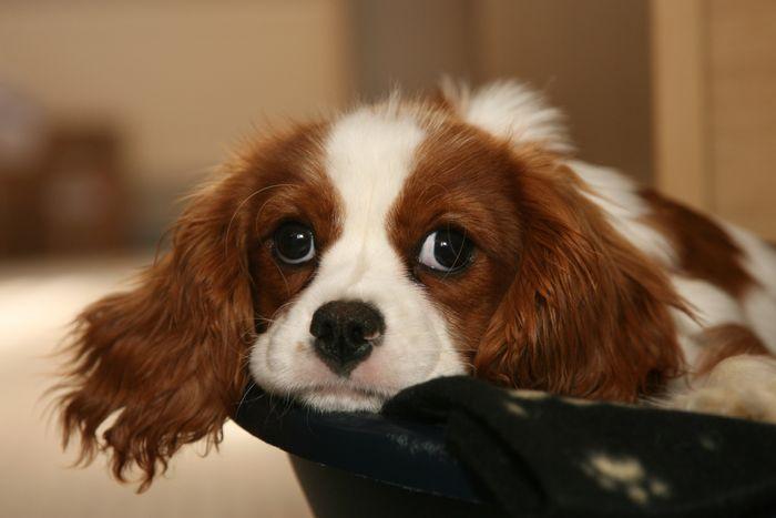 Cushing's Disease in Dogs 3