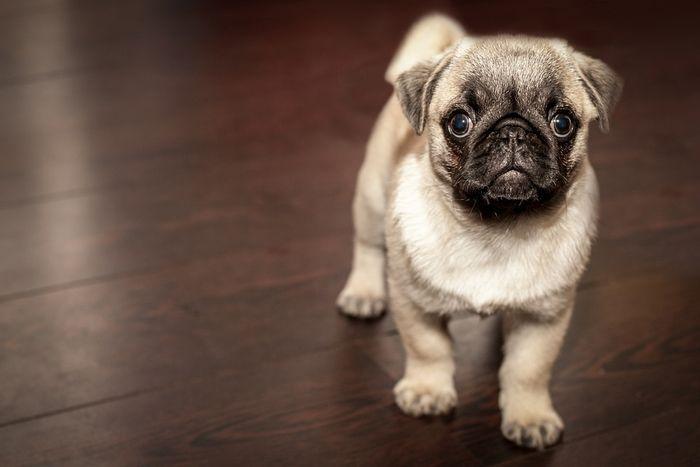 Cushing's Disease in Dogs 2