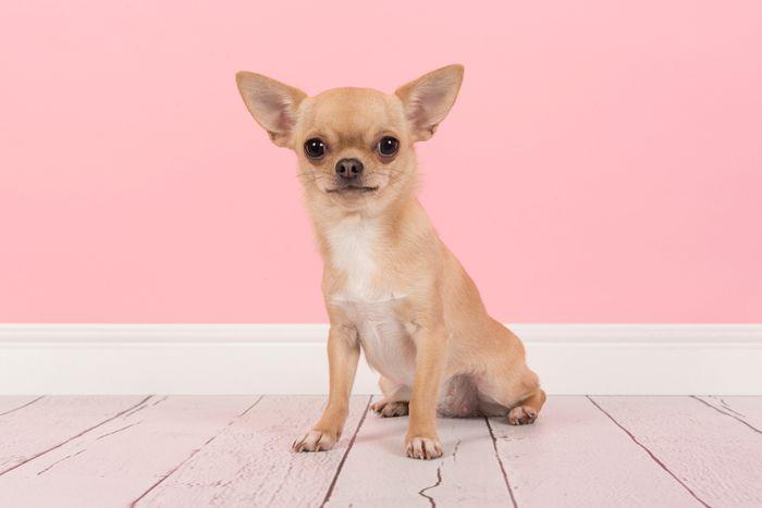 Cushing's Disease in Dogs 5