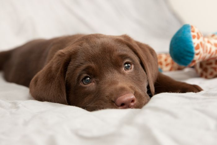 Dog Ate Chocolate 7