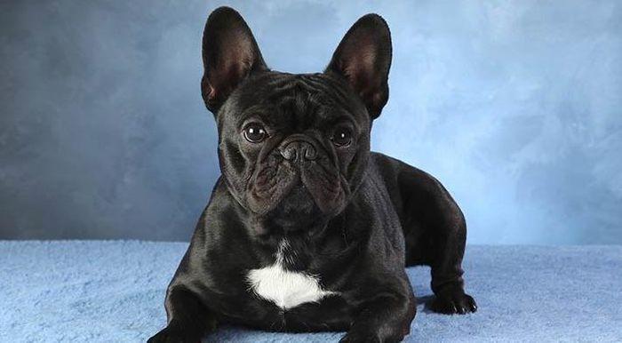 French Bulldog Dog Breed Information 2020 9