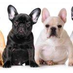 Australian Cattle Dog Dog Breed Information 2020 11