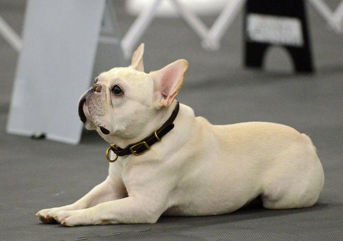 French Bulldog Dog Breed Information 2020 7