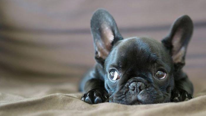 French Bulldog Dog Breed Information 2020 8