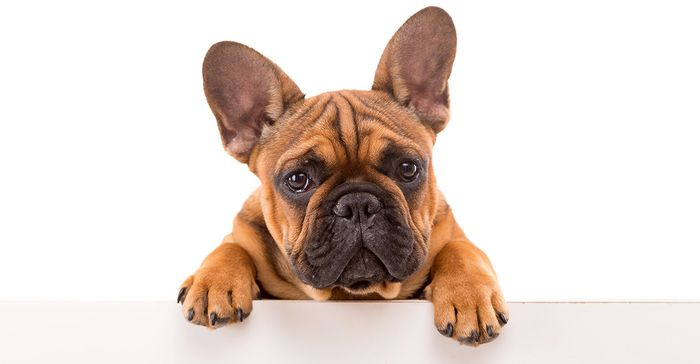 French Bulldog Dog Breed Information 2020 3
