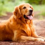 Dog Allergies: Symptoms & Treatment 9