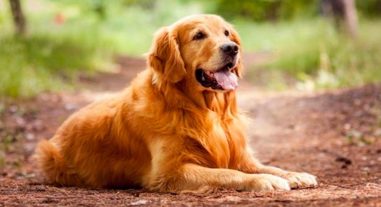 Golden Retriever Dog Breed Information 2020 1