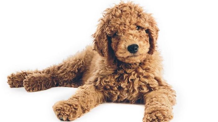 Goldendoodle Dog Breed Information, Pictures, Characteristics 7